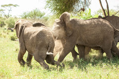 Luta dos elefantes Fotos de Stock