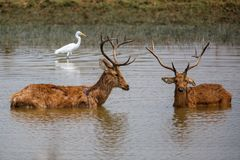 Luta dos fanfarrões dos cervos de Barasingha foto de stock