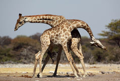 Luta dos machos do Giraffe Fotografia de Stock Royalty Free