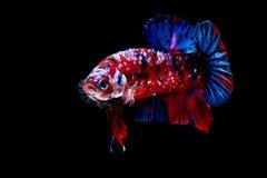 Luta dos peixes de Betta no blackground do preto do aquário imagens de stock
