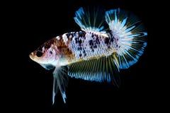 Luta dos peixes de Betta no blackground do preto do aqu?rio fotos de stock royalty free