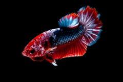 Luta dos peixes de Betta no blackground do preto do aqu?rio imagem de stock royalty free