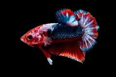 Luta dos peixes de Betta no blackground do preto do aqu?rio imagens de stock royalty free