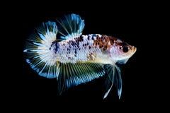 Luta dos peixes de Betta no blackground do preto do aqu?rio imagens de stock