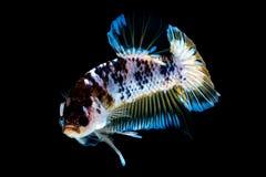 Luta dos peixes de Betta no blackground do preto do aqu?rio foto de stock royalty free