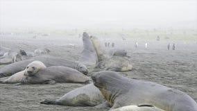 Luta dos selos de elefante na praia video estoque