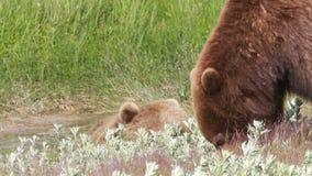 Luta dos ursos filme