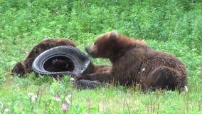 Luta dos ursos vídeos de arquivo