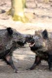 Luta dos varrões selvagens Imagem de Stock Royalty Free