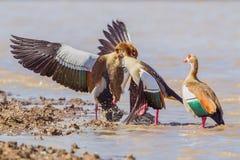 Luta egípcia dos gansos imagem de stock