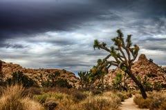 Luta Joshua Tree på en slinga Royaltyfria Bilder