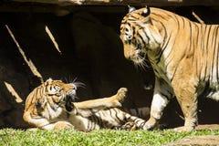 Luta malayan irritada do tigre Imagem de Stock Royalty Free