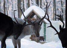 Luta masculina dos cervos na neve Fotos de Stock