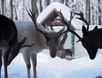 Luta masculina dos cervos na neve com hotns Imagens de Stock