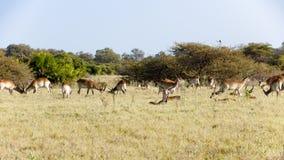 Luta masculina dos Impalas foto de stock royalty free