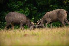 Luta masculina dos veados dos cervos do Sambar fotografia de stock