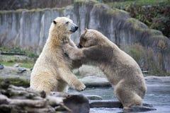 Luta masculina e mordida de dois ursos polares Os ursos polares fecham-se acima Alaska, urso polar Urso branco grande na primaver foto de stock royalty free