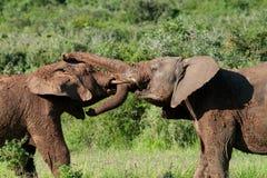 Luta nova dos elefantes de touro imagem de stock