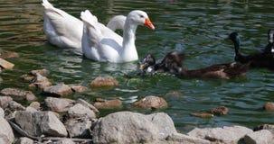 Luta para o alimento no pátio traseiro - uma parte não é bastante - rivalidade dos patos para obter mais alimento vídeos de arquivo