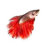Luta Siamese dos peixes de Betta com cauda vermelha Fotos de Stock Royalty Free