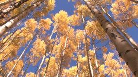 Lutande och panorera för höstträd lager videofilmer
