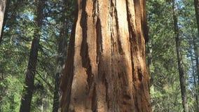 Lutande sköt upp av grunden av ett träd för jätte- sequoia i yosemite lager videofilmer