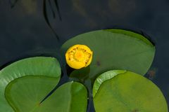 Lutea amarillo del Nuphar del agua-lirio foto de archivo