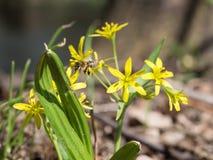 Lutea de Gagea, el ADN amarillo de Estrella-de-Belén una abeja que recoge el polen Imagen de archivo libre de regalías