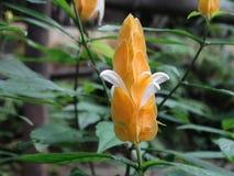 Lutea de Pachystachys - flor de la vela fotografía de archivo libre de regalías