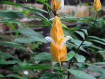 Lutea de Pachystachys - flor de la vela foto de archivo libre de regalías