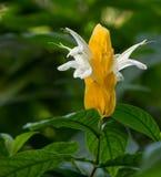 Lutea de Pachystachys (planta de oro del camarón) Imagen de archivo
