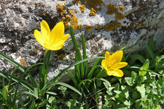 Lutea de Sternbergia Fotos de Stock Royalty Free