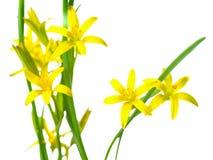 Lutea di Gagea (stella gialla di Betlemme) Immagini Stock Libere da Diritti