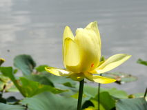 Lutea do Nelumbo da flor de Lotus do americano Foto de Stock Royalty Free