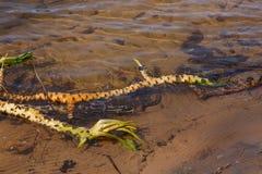 Lutea Nuphar, корень Стоковое Изображение