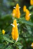 Lutea Pachystachys, золотой завод креветки Стоковые Изображения