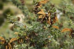 Lutea prudente di Salvia Africana della pianta di Brown Fotografia Stock Libera da Diritti