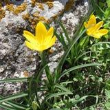 Lutea Sternbergia Стоковое Изображение