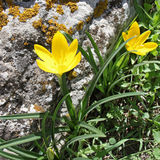 Lutea Sternbergia Στοκ Εικόνα
