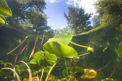 Lutea subaquático do nuphar do lírio de água amarela imagens de stock