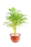 Lutescens di Chrysalidocarpus Fotografia Stock Libera da Diritti