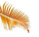 Lutescens gialli di Dypsis delle foglie di palma o palma dorata della canna, foglie di palma dell'areca, fogliame tropicale isola immagini stock