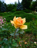 Lutetia Roses Royalty Free Stock Images