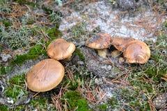 Luteus sdrucciolevole L di suillus delle prese Il Gray si sviluppa alla famiglia nel legno di conifere Fotografia Stock Libera da Diritti