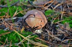 Luteus Suillus σε ένα δάσος πεύκων Στοκ φωτογραφίες με δικαίωμα ελεύθερης χρήσης