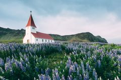 Lutheran Myrdal church. Surrounded by blooming lupine flowers, Vik, Iceland Royalty Free Stock Photos