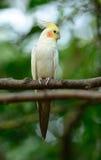 Lutino变化小形鹦鹉(Nymphicus hollandicus) 免版税库存照片