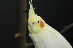 Lutino cockatiel Royalty-vrije Stock Foto
