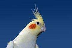Lutino cockatiel Stock Images