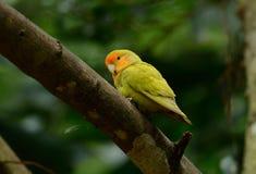 Lutino mutacja stawiał czoło lovebird (Agapornis roseicollis) Zdjęcia Stock